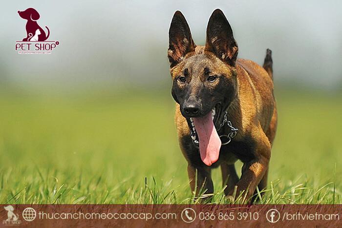 huấn luyện chó đi bên cạnh chủ nhân